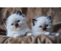 Birman kittens Birmingham AL