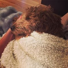 Sometimes you just need to cuddle in and fall asleep mid-ear scratch  #puppies #puppiesofinstagram #puppiesforall #dogs #dogsofinstagram #goldendoodles #goldendoodlesofinstagram #goldendoodlesofinsta #goldendoodlesofig #goldendoodlepuppy #goldendoodlecentral  #doodletales #goldendoodleselfie #minigoldendoodle #minigoldendoodlesofinstagram #groodle #groodlesofinstagram #dogsandpals #lacyandpaws #truelovegoldendoodles #dailyfluff #fluffpack #doodlelove #sendadogphoto #thewoofdaily by piper.bee