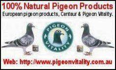 Image result for racing pigeons Racing Pigeons, Centaur, Image