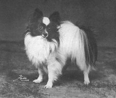 The first Papillon to win Best in Show in the US was Ch & Am Ch Offley Black Diamond, at the Bridgewater Kennel Club show in 1936.