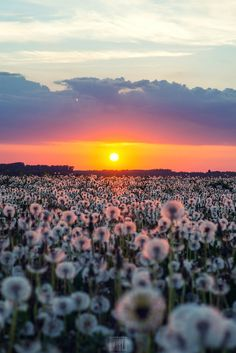 Beautiful!!! Kids would love to run in a field of dandelions Sunsets, Dreams, Army, Celestial, Nature, Color, Dandelion, Colour, Military