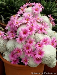 mixed color rare succulent plant Succulent Cactus Seeds Lithops Pseudotruncatella seeds bonsai plant for home garden Unusual Flowers, Unusual Plants, Exotic Plants, Beautiful Flowers, Beautiful Pictures, Succulents In Containers, Cacti And Succulents, Planting Succulents, Planting Flowers