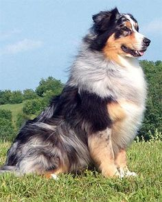 Australian Shepherd...Amazing Companion..TRUTH!