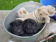 Shar-pei's are sooooooooooo cute!!!