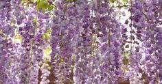 Cómo plantar glicinias. La glicina es una planta de vid que florece en colores rojo, azul, lavanda o blanco. Las enredaderas de la viña rodean casi todo y pueden alcanzar alturas de hasta más de 10 pies (3 metros). Esta planta puede ahogar a las plantas vecinas y abrumar estructuras, por lo cual la poda anual es una necesidad. Plántala cerca de un enrejado metálico o ...