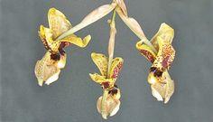 Orquídea tão bizarras que nem parecem orquídeas. Fotos de Minhas Plantas no Casa.com.br