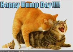 """Everyone calls Wednesday """"Hump Day"""" don't they?  They think they're being naughty by calling it that, with a little wink and nudge.  """"Heh heh, hump means two things ya know?  I'm so daring!"""" Wednesday Hump Day, Happy Wednesday Quotes, Wednesday Humor, Happy Quotes, Hump Day Quotes, Hump Day Humor, Hump Day Pictures, Funny Pictures, Cat Having Kittens"""