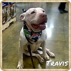Arcadia, CA - Pit Bull Terrier/Labrador Retriever Mix. Meet Travis, a dog for adoption. http://www.adoptapet.com/pet/13103789-arcadia-california-pit-bull-terrier-mix