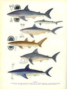 Vintage Fish Print 1950 Shark Margaret by MarcadeVintagePrints, £8.50