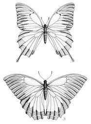 Ulysses Birdwing: Pen and Ink Stippling www.wilbychelsea.com