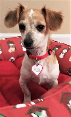 Meet Toby #13 in SC (Dachshund/Chihuahua mix) - an adoptable pet Dog