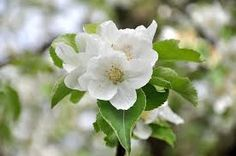 pear blossom - nashi pear, light florals & cool berries