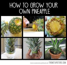 How to grow your own pineapples…