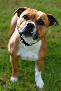 Staffordshire Bull Terrier Club of Victoria | Melbourne Dog Lovers ShowMelbourne Dog Lovers Show