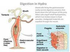 animal digestive system - Buscar con Google