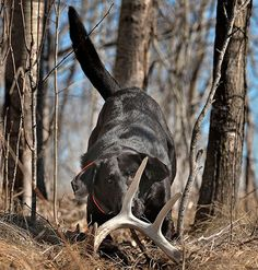 How To Train Your Dog To Find Antler Sheds