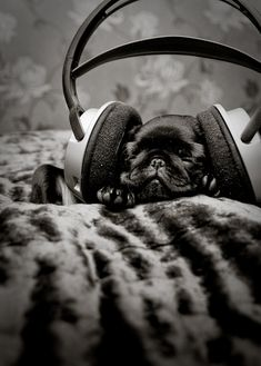 Beats pug