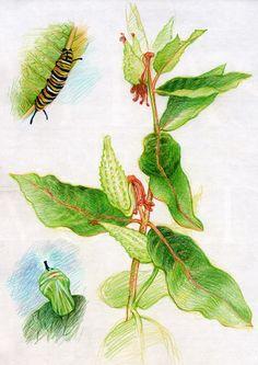 Waldorf ~ 5th grade ~ Botany ~ Milkweed to Monarch ~ main lesson book