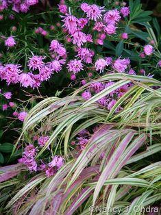 Hakonechloa macra 'Aureola' and Symphyotrichum novae-angliae (an ex-aster), gardening, landscaping