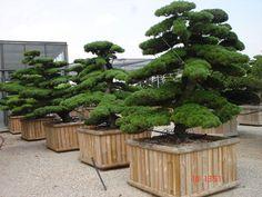 Japanese macrobonsais; macrobonsai_Nippon Tree,Como, Italy