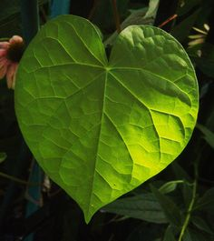 Morning Glory heart leaf