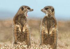 Meerkats in a heated dispute   PostKitty