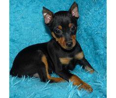Min-Pin Babies Miniature Pinschers EARS DONE is a Female Miniature Pinscher Puppy For Sale in Phoenix AZ