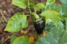purple beauty capsicum  http://www.gardenware.com.au/articles/veggie-patch-ramblings-march-2/