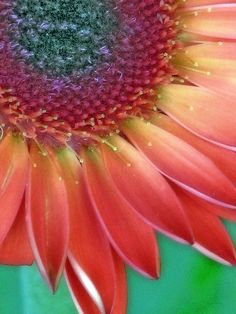 Gerbera... Amazing colors