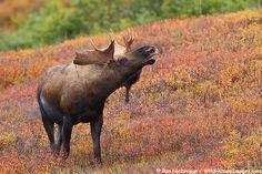 Bull Moose during fall rut in #Denali National Park, #Alaska