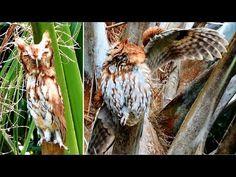 ▶ Transformer Owl - The Original Documentary - YouTube