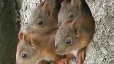 Orava on erittäin taitava kiipeilijä, joka hyppää pitkiäkin loikkia puusta toiseen. Orava on siitä erityinen eläin, että sen nähdäkseen ei useinkaan tarvitse poistua omaa kotipihaa kauemmaksi.