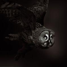 naturepunk:  Great Grey Owl