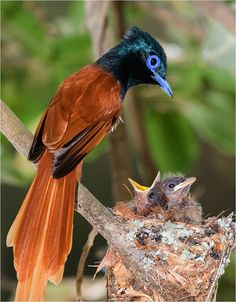 Male Paradise Flycatcher just checking to see if the chicks are hungry