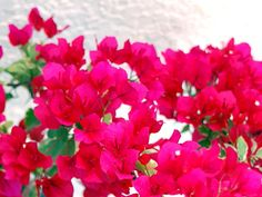 2014-03-20 First Day of Spring - Spring Equinox - My bougainvillea in front has more flowers than leaves!
