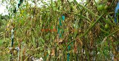 Mana tomatelor: lămuriri, soluții bio și toate tratamentele chimice | Paradis…