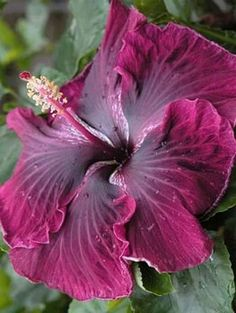 'Black Dragon' Hibiscus