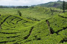 Teafields near Bandung, Indonesia. [aaaah always my fave <3]