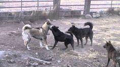 Shikoku Ken, Kai Ken, West Siberian Laika, and Jindo
