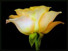 Paintng of a Single Yellow Rose - Yahoo Image Search Results