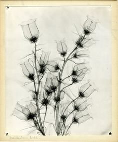 artspotting:  Radiologist Dain L. Tasker (1872-1964) Canterbury Bells, Radiograph - via npr