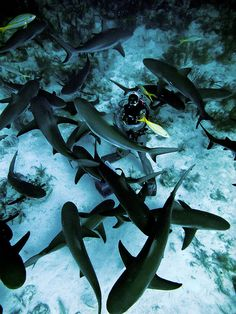 Swimming With Sharks! In a cage AND in open water, must do before I die!!