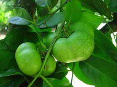 Black Sapote noire / Fruits des Antilles