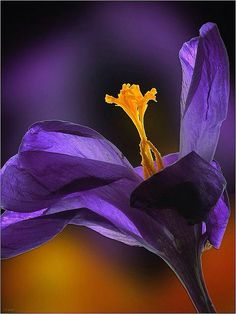 -BLEN: Beautiful Moment- ~~Crocus by JeremyRambles~~ Colorful Roses, Exotic Flowers, Amazing Flowers, Purple Flowers, Beautiful Flowers, Beautiful Gorgeous, Simply Beautiful, Beautiful Pictures, Purple Haze