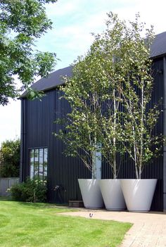 big impact with oversize white planters used for trees in a country garden & contrast with the black siding & roof of the house