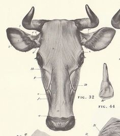 Items similar to Vintage Cow and Bull Head View Illustration Book Page on Etsy