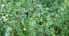 πως φτιάχνω εκχύλισμα τσουκνίδας για φυτοπροστασία, λίπασμα με τσουκνίδα Herbs, Herb, Medicinal Plants