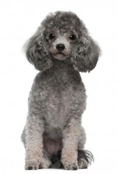 Learn about the Toy Poodle and find out if this is the perfect breed for you. http://smalldogplace.com/toy-poodle.html.