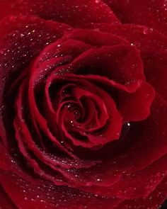 """Polubienia: 2, komentarze: 1 – Magdalena Sypion (@magdalenasypion) na Instagramie: """"🌹 Delikatna a potrafi zranić 🌹 #róża #czerwona #woda #kwiat #zapach #ochiach #lubiękwiaty…"""""""