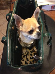 Way too cute! Yorkies, Chihuahuas, Kittens And Puppies, Cats And Kittens, Beverly Hills Chihuahua, Alpha Dog, Cute Chihuahua, Beautiful Dogs, Cat Breeds